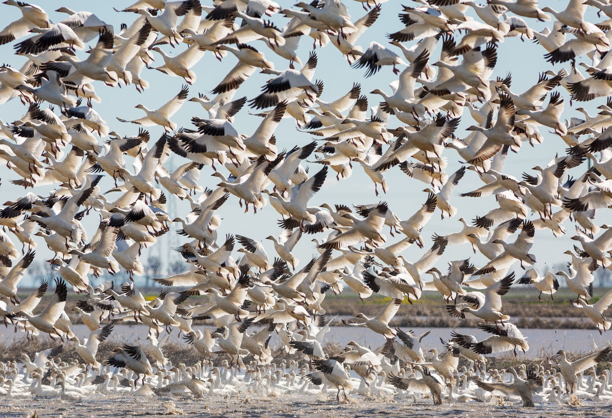 A dense flock of snow geese lifts off from a flooded rice field in California's Central Valley.