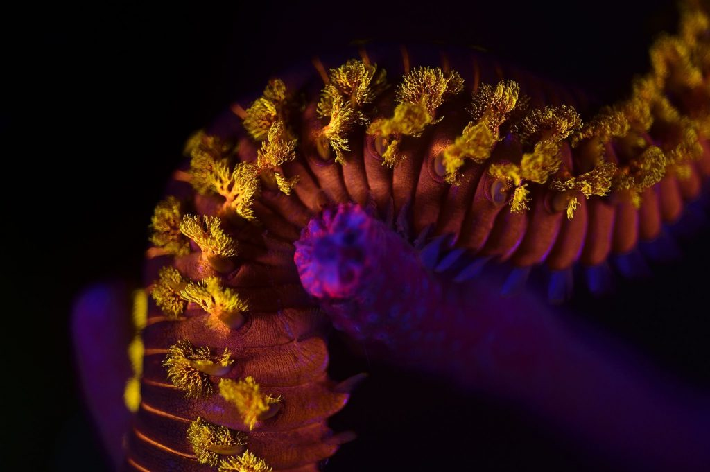 Bearded fireworm (Hermodice carunculata) photographed with UV light. Atlantic, Bonaire, Leeward Antilles, Caribbean region, Netherlands Antilles