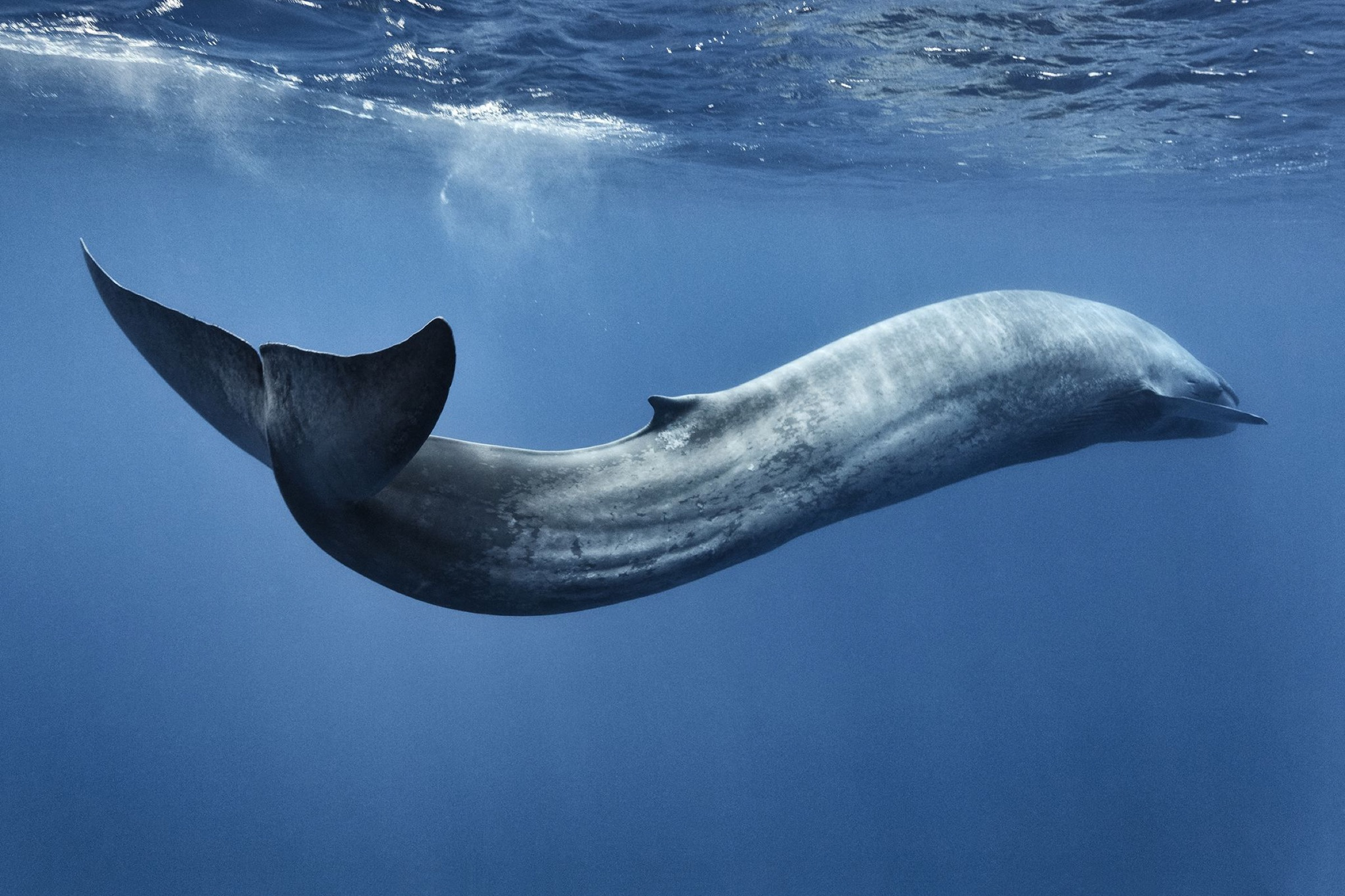 Blue whale (Balaenoptera musculus) swimming in s motion, Sri Lanka, Indian Ocean.