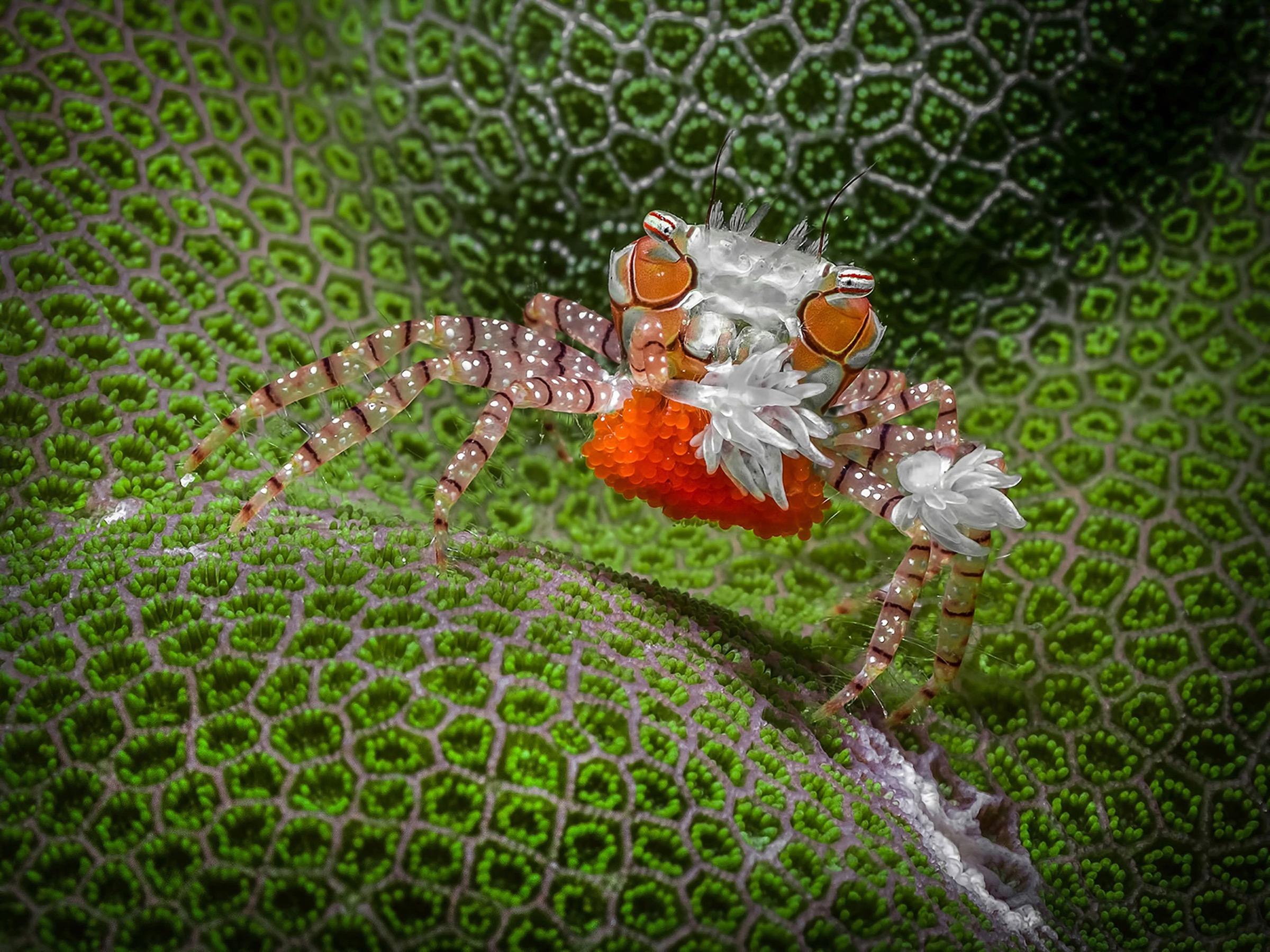 boxer crab (Lybia tessellata)