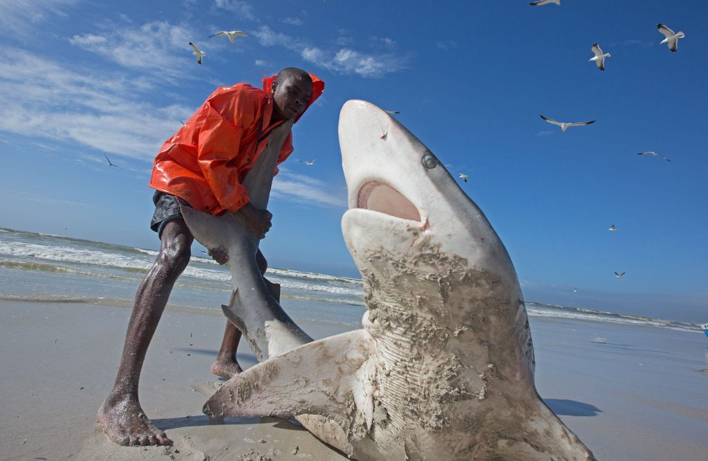 Bronze whaler shark (Carcharhinus brachyurus), caught in traditional seine net and released by fisherman, Muizenberg beach, Cape Town, South Africa, January 2014