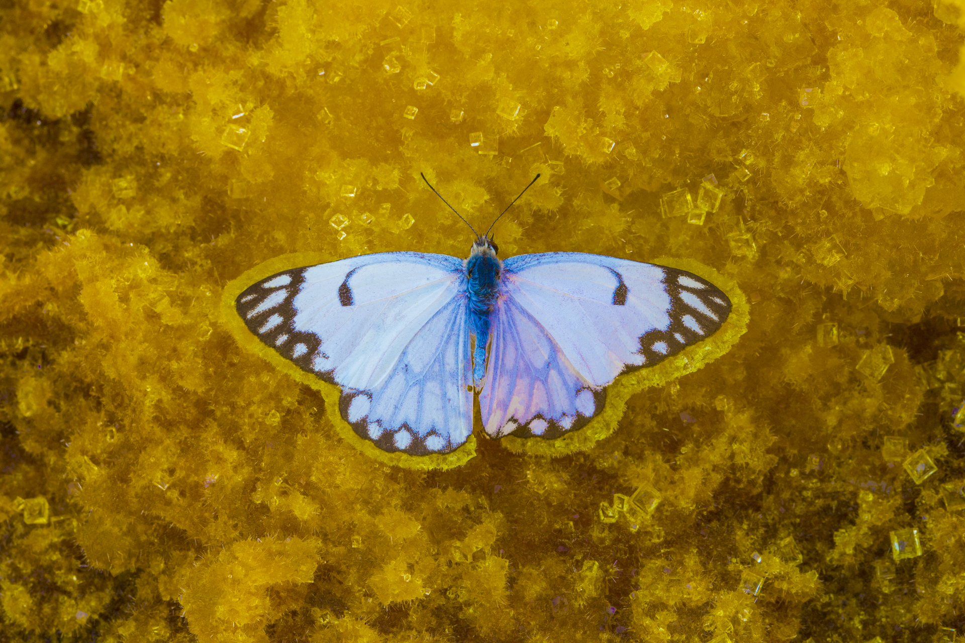 caper white butterfly (Belenois sp.)