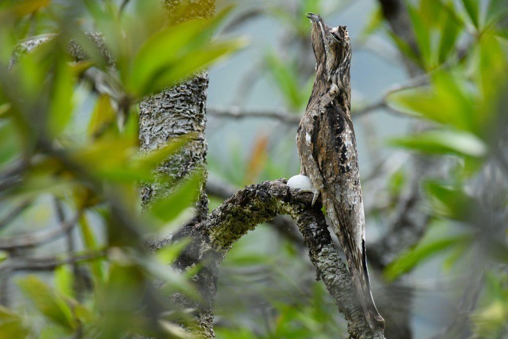 Common Potoo (Nyctibius griseus)