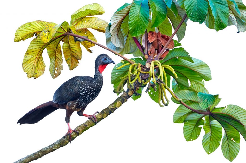 Crested Guan Penelope purpurascens perched in a tree backed against a white sky, Cloud Rainforest, Coast Rica.