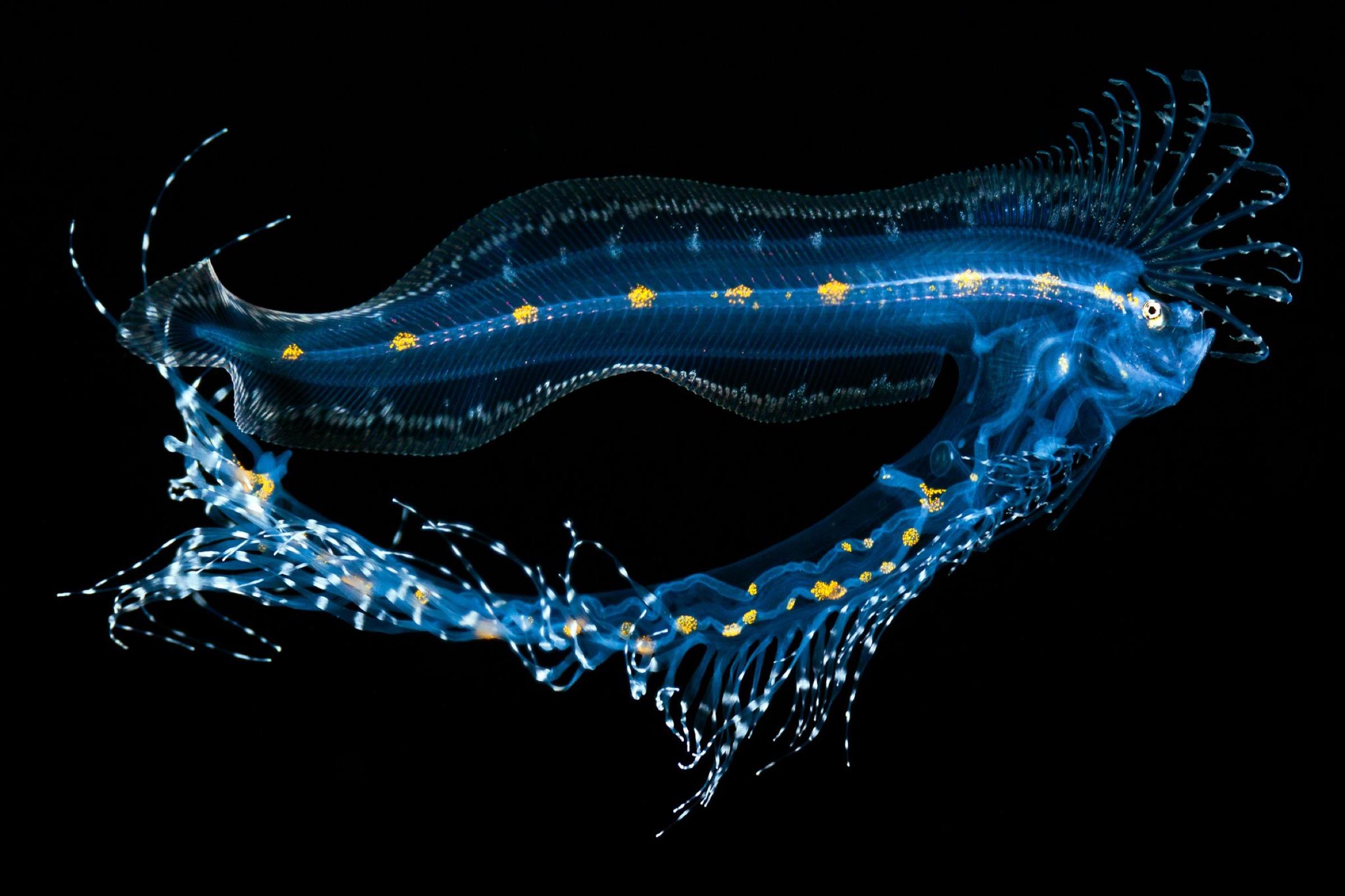 cusk-eel (Lamprogrammus sp.)