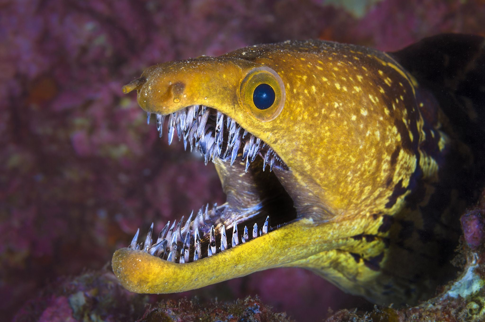 Fangtooth moray eel (Enchelycore anatina) with mouth open, Grand Canaria, Canary Islands, Spain. East Atlantic Ocean.