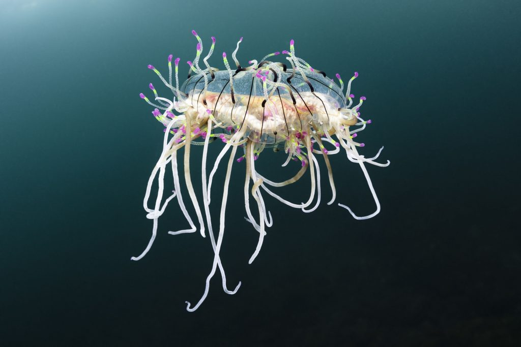 flower hat jelly (Olindias formosus)