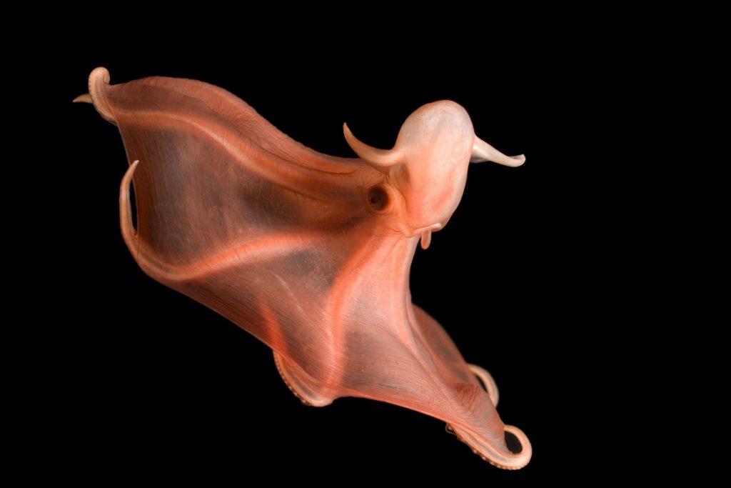glowing sucker octopus (Stauroteuthis syrtensis)