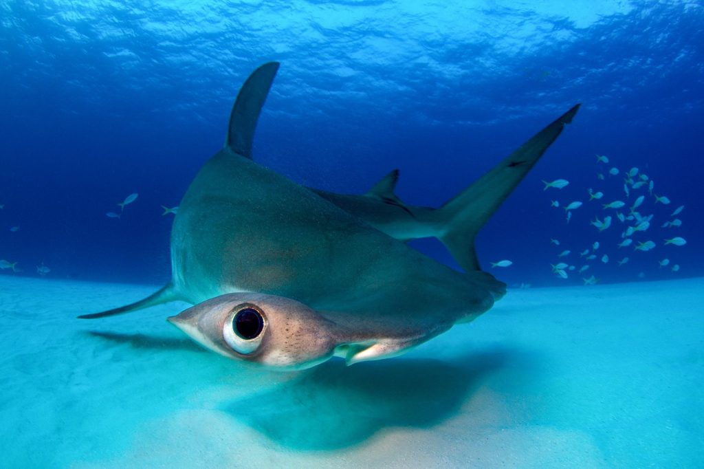 A unique underwater shark portrait shows a great hammerhead shark quickly turning, twisting its body into a U shape, its eye close to the camera.