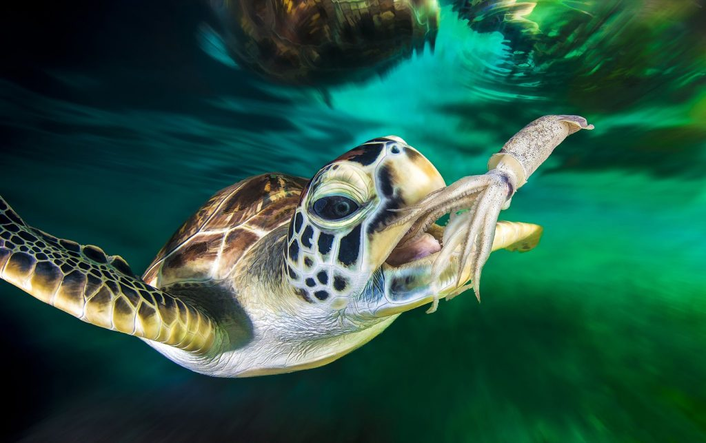 green turtles (Chelonia mydas)