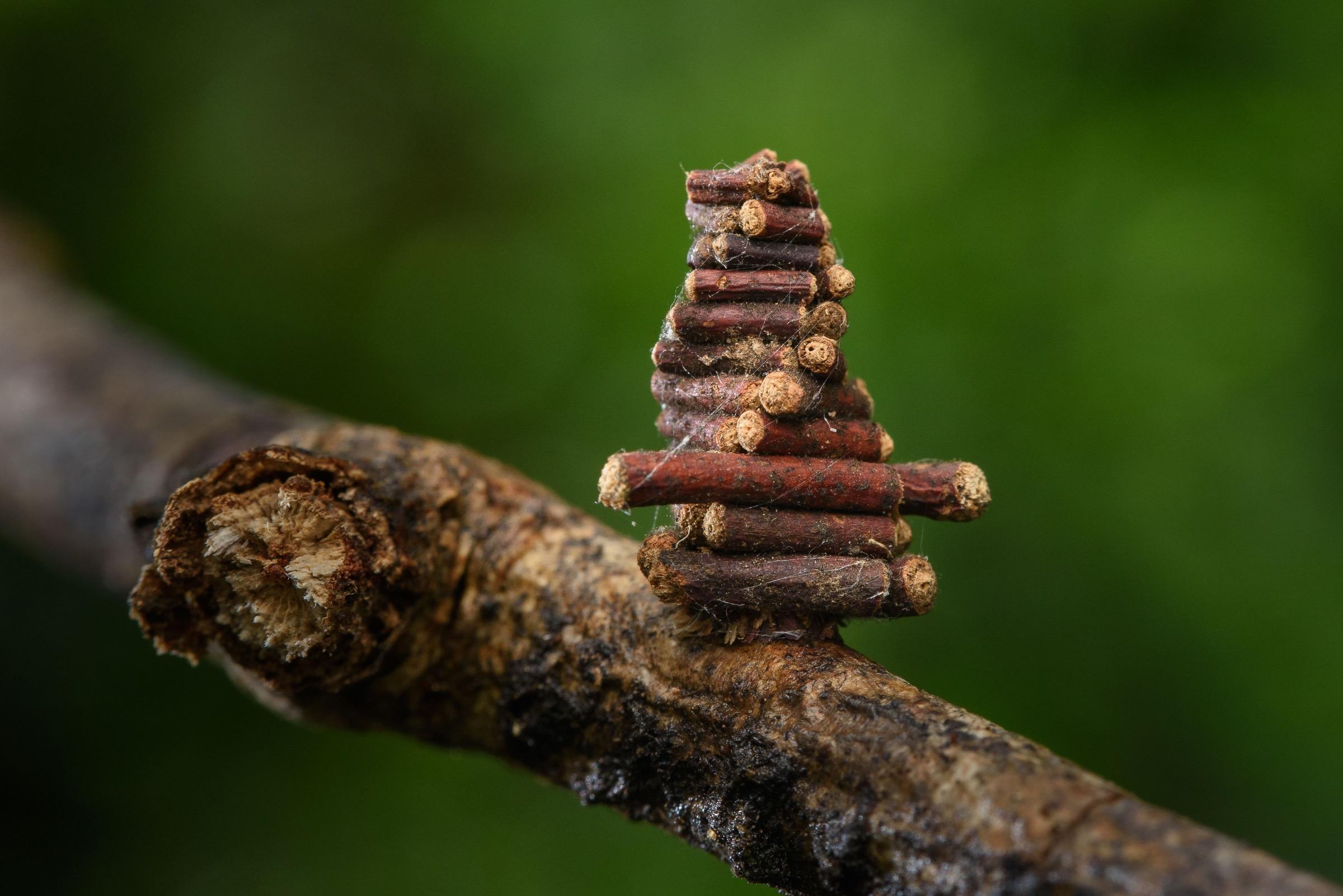 Unidentified bagworm (family Psychidae) moth caterpillar