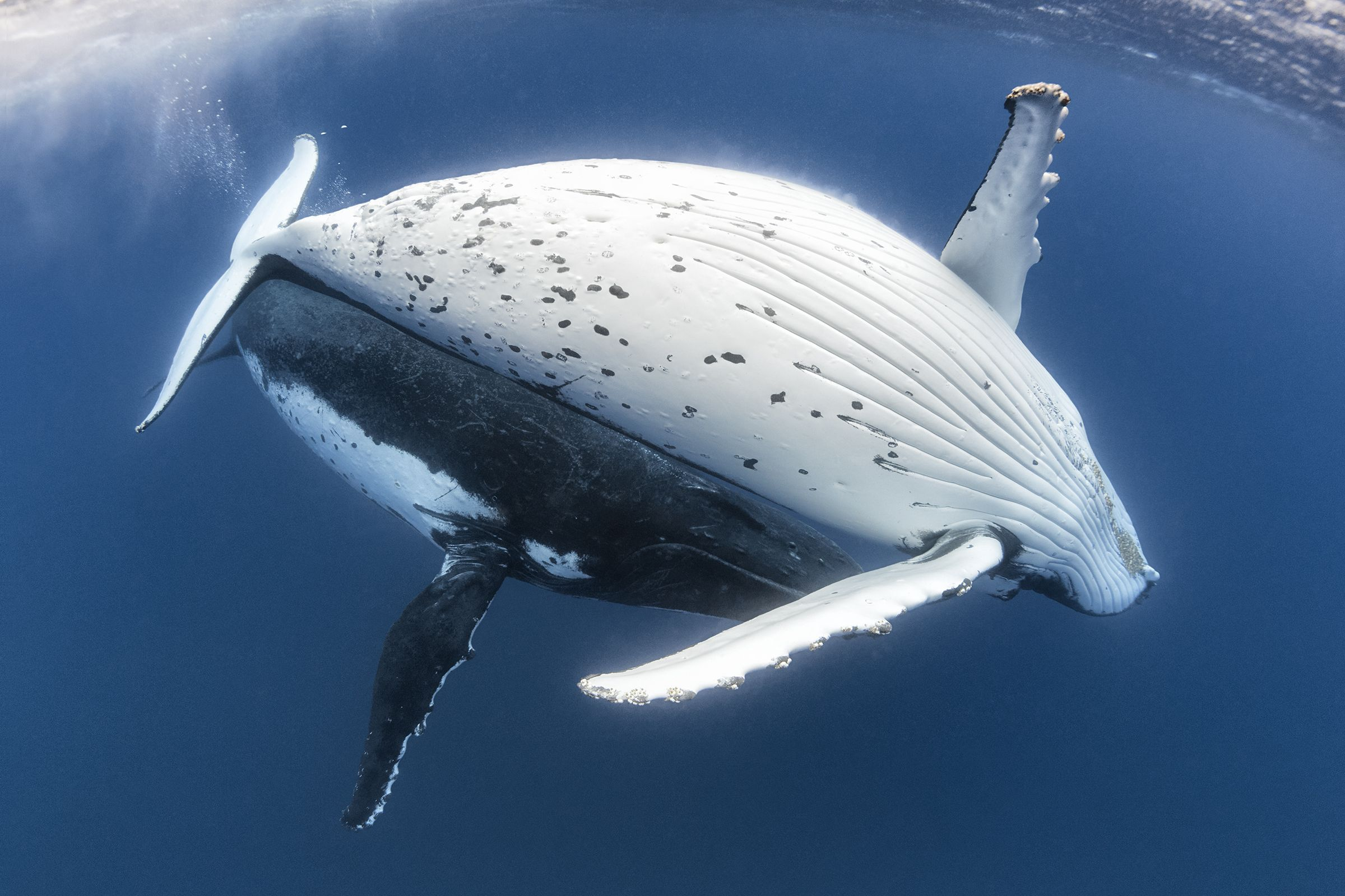 Humpback Whale Male and Female Courtship Pair