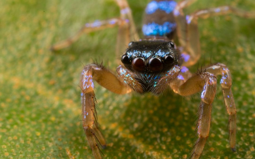 With its iridescent turquoise markings and four pairs of eyes, this jumping spider (Thania bhamoensis) is well-equipped to recognize and assess members of its own species. The spider's large central eyes are responsible for acute vision and allow it to differentiate between potential mates and rivals. (Among other differences, females tend to be greener, while males are bluer.) Meanwhile, the spider's three smaller pairs of eyes can detect movement on all sides, which comes in handy both when fighting off rivals and being on the lookout for potential prey.