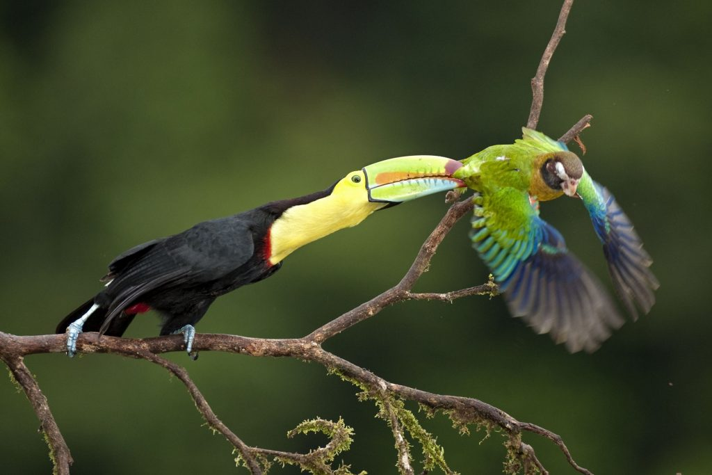 keel-billed toucan (Ramphastos sulfuratus) and a brown-hooded parrot (Pionopsitta haematotis)