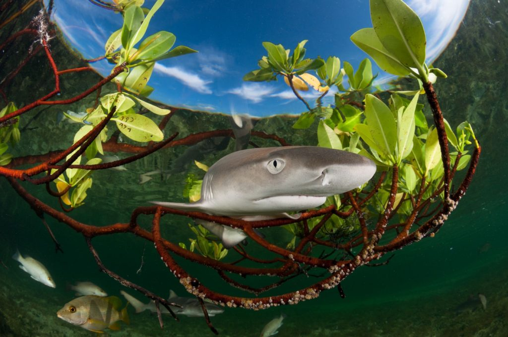lemon shark pup (Negaprion brevirostris)