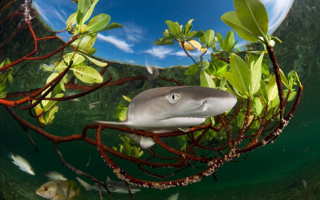 lemon shark pup (Negaprion brevirostris)