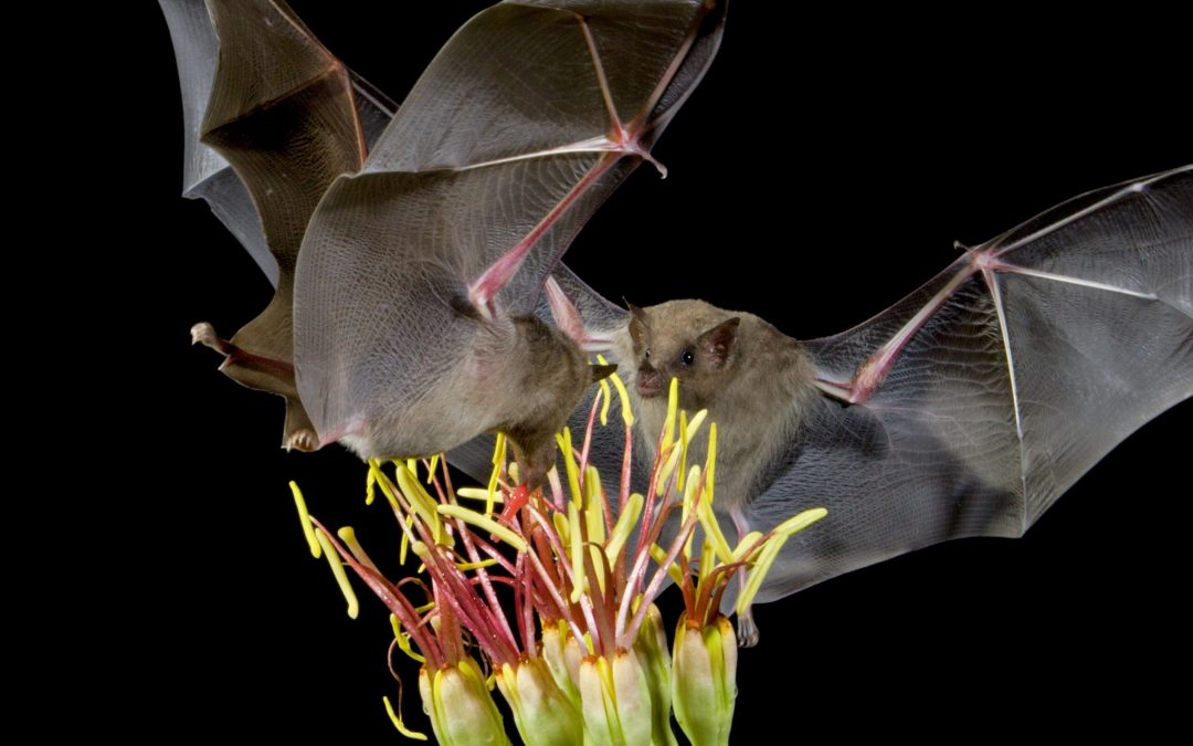 lesser long-nosed bats (Leptonycteris yerbabuenae)