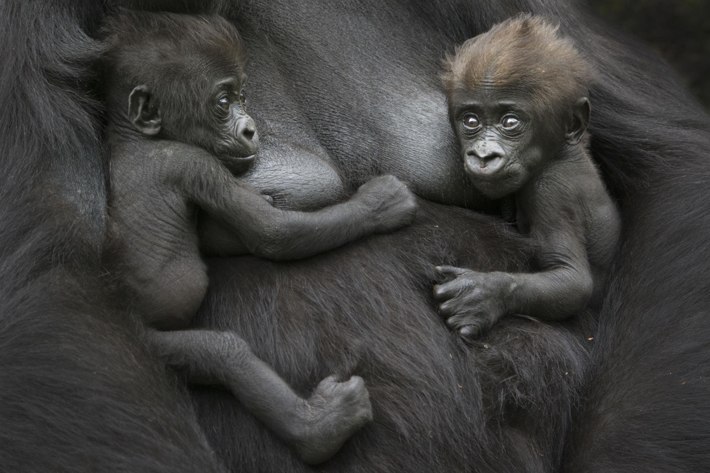 western lowland gorillas (Gorilla gorilla gorilla)
