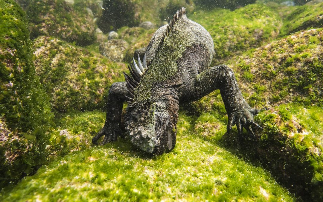 Marine iguana (Amblyrhynchus cristatus) feeding in deep water to find algae, off the coast of Fernandina island on Galapagos. April 2016. Much of the algae on coast and at shallower depths have been killed by unusually warm El Nino weather.