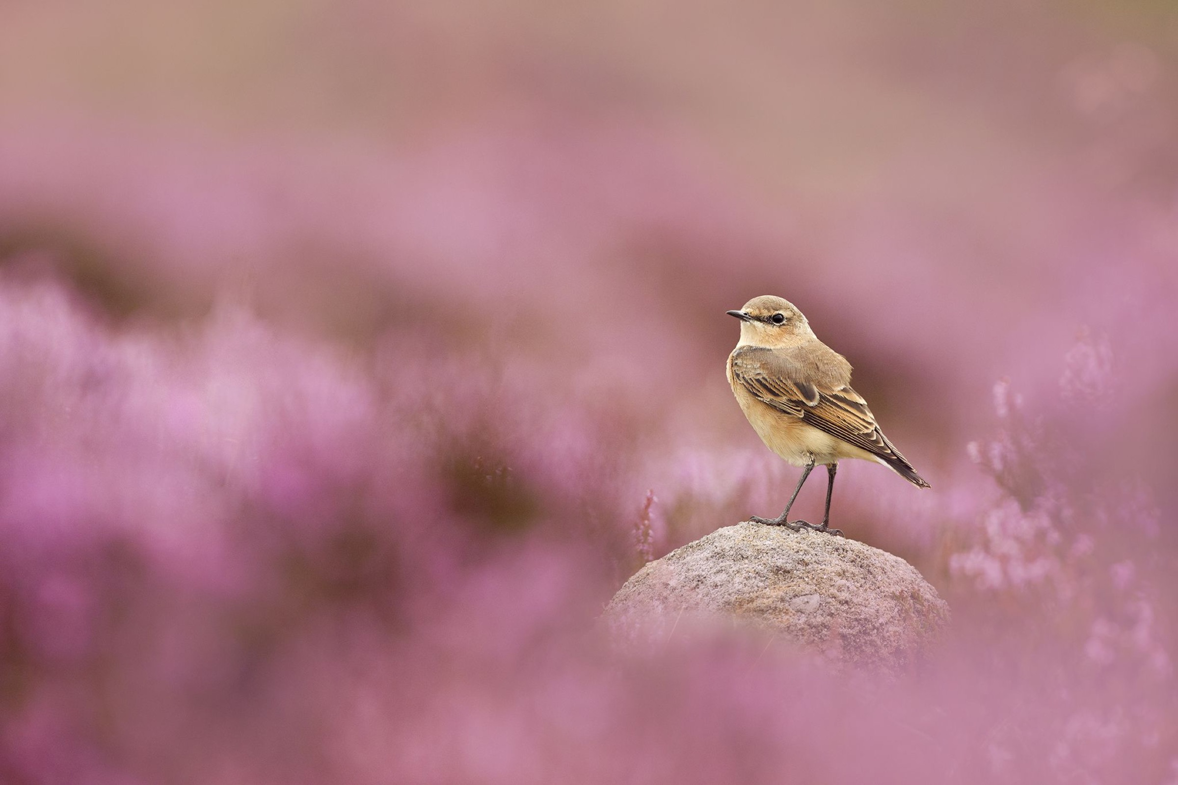 Wheatear, (Oenanthe oenanthe) perched on gritstone rock amongst flowering heather (Ericaceae sp), Peak District NP, August 2011. 2020.