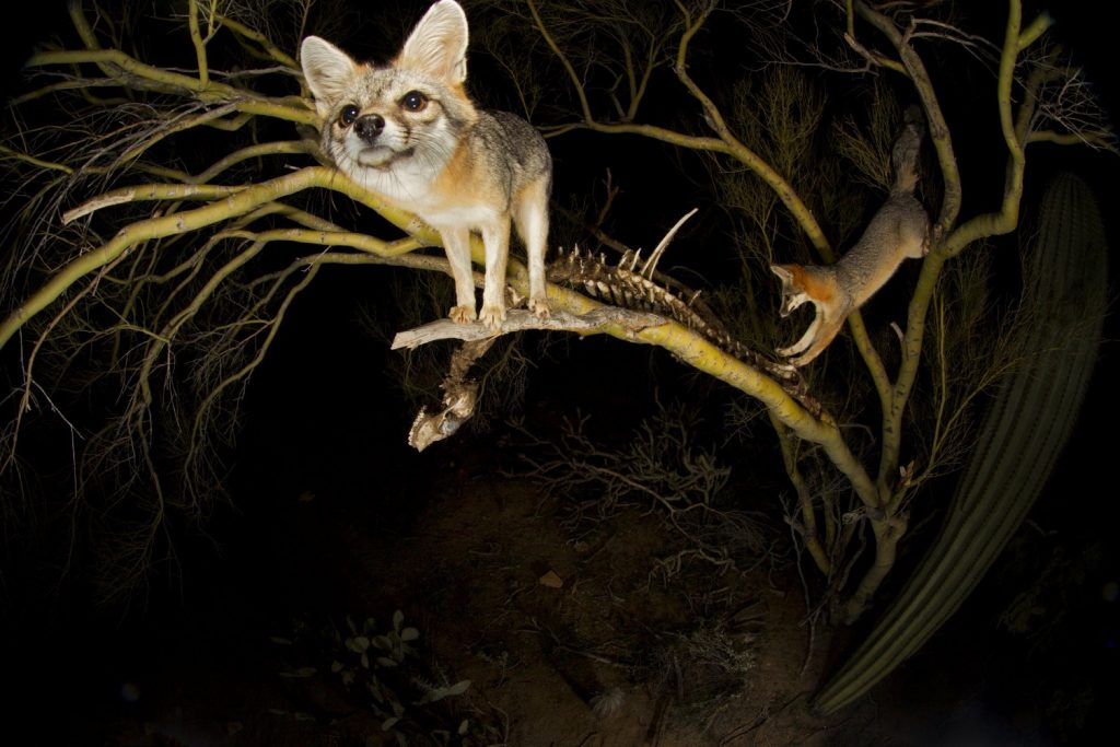 A pair of grey foxes visit one of the 'skeleton trees' in their territory