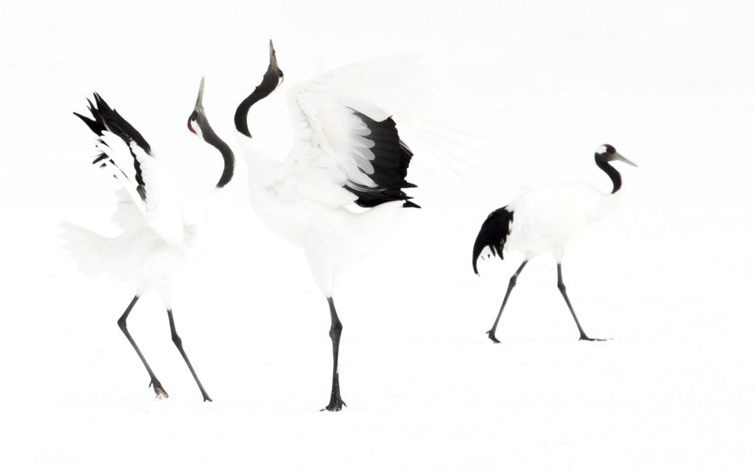 Japanese cranes (Grus japonensis) displaying in snow, Hokkiado, Japan, February