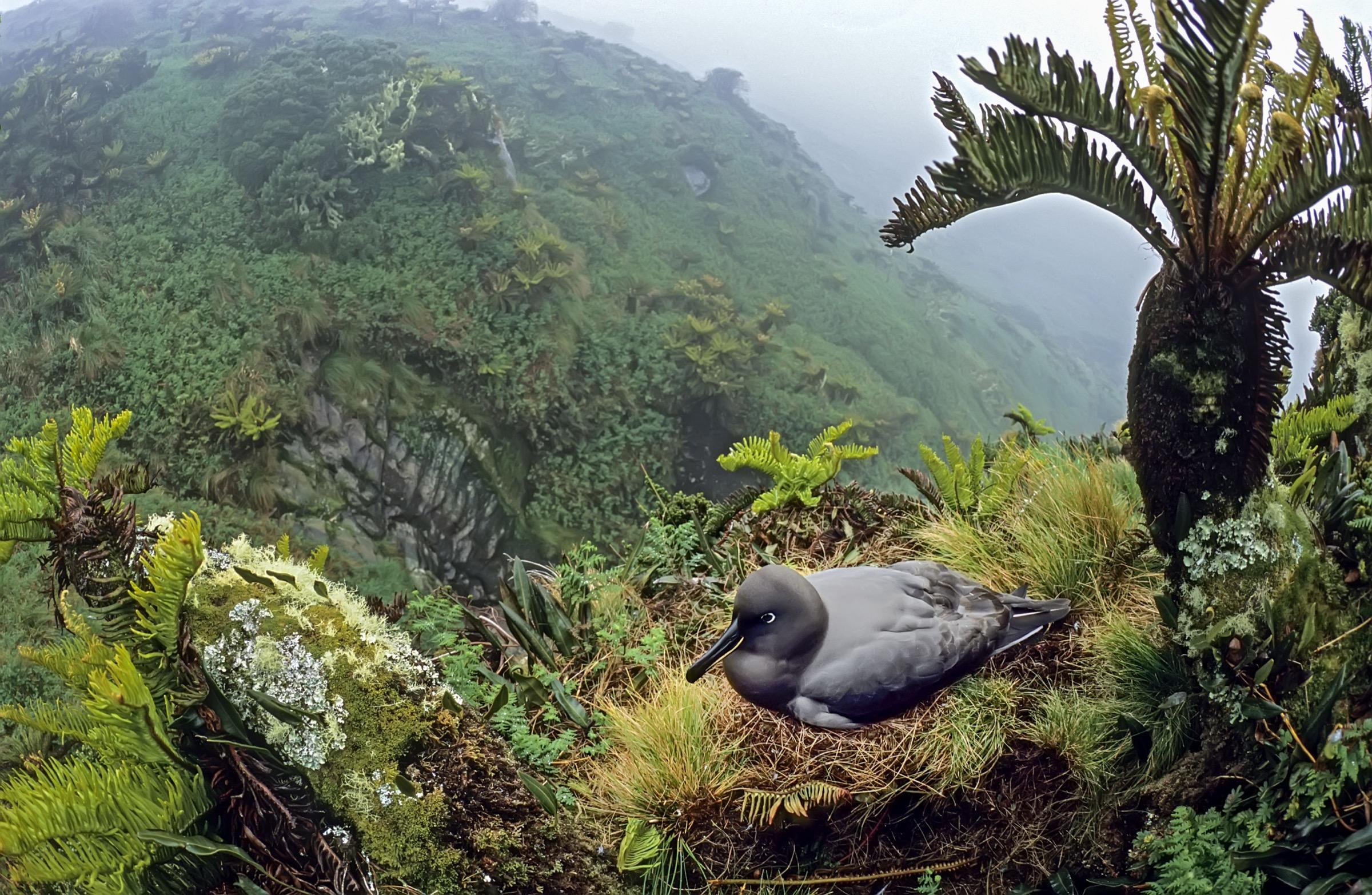 sooty albatross (Phoebetria fusca)