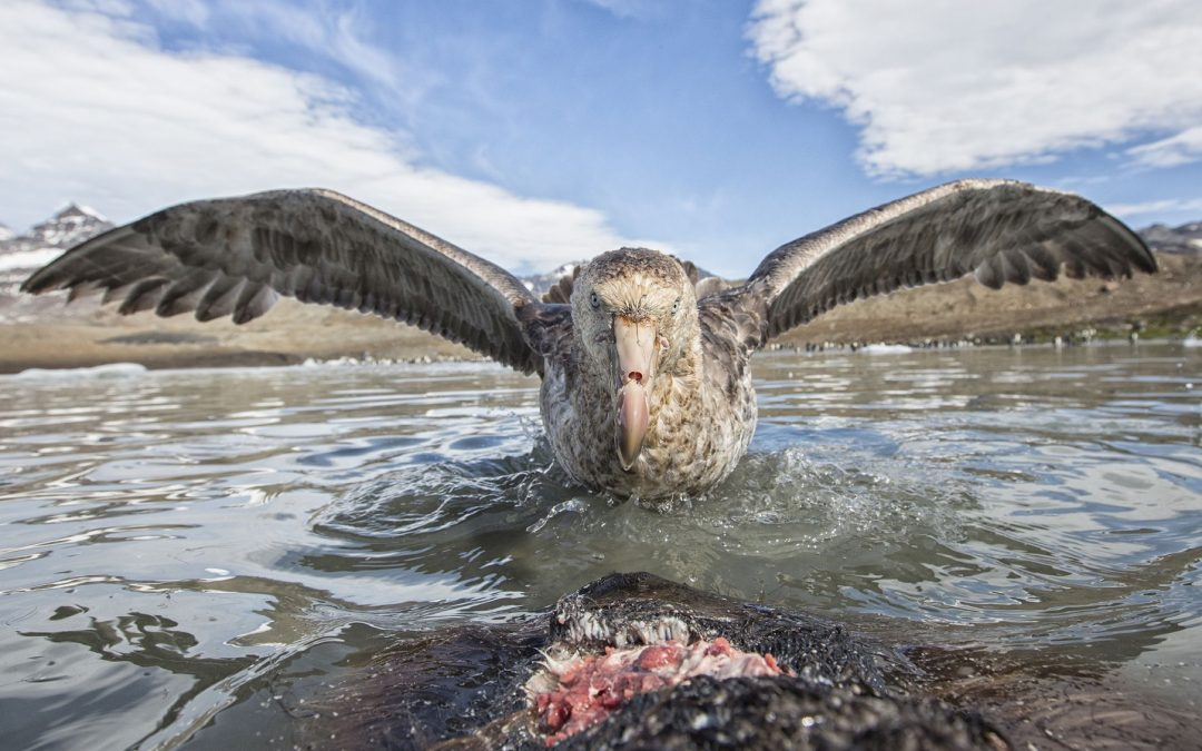 Southern giant petrel (Macronectes giganteus), scavenging on seal carcass, South Georgia, January.