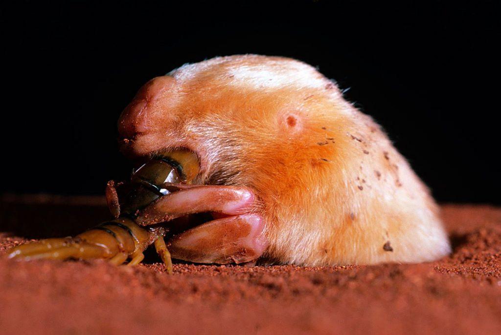 southern marsupial mole (Notoryctes typhlops)
