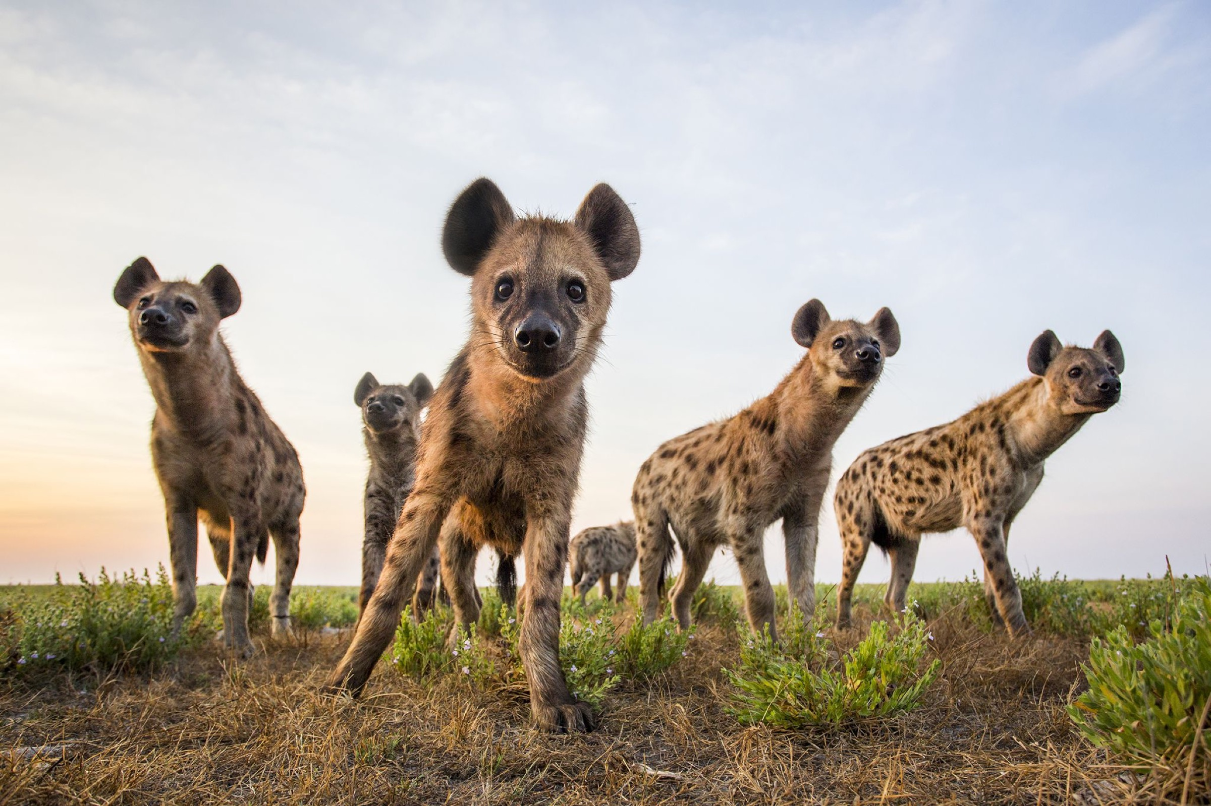 Spotted hyena (Crocuta crocuta) low angle shot of group taken with remote camera. Liuwa Plain National Park, Zambia. May