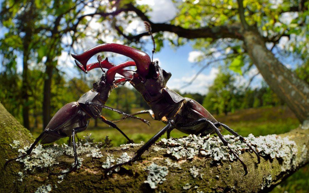 Stag beetle (Lucanus cervus) males fighting on oak tree branch, Elbe, Germany, June.