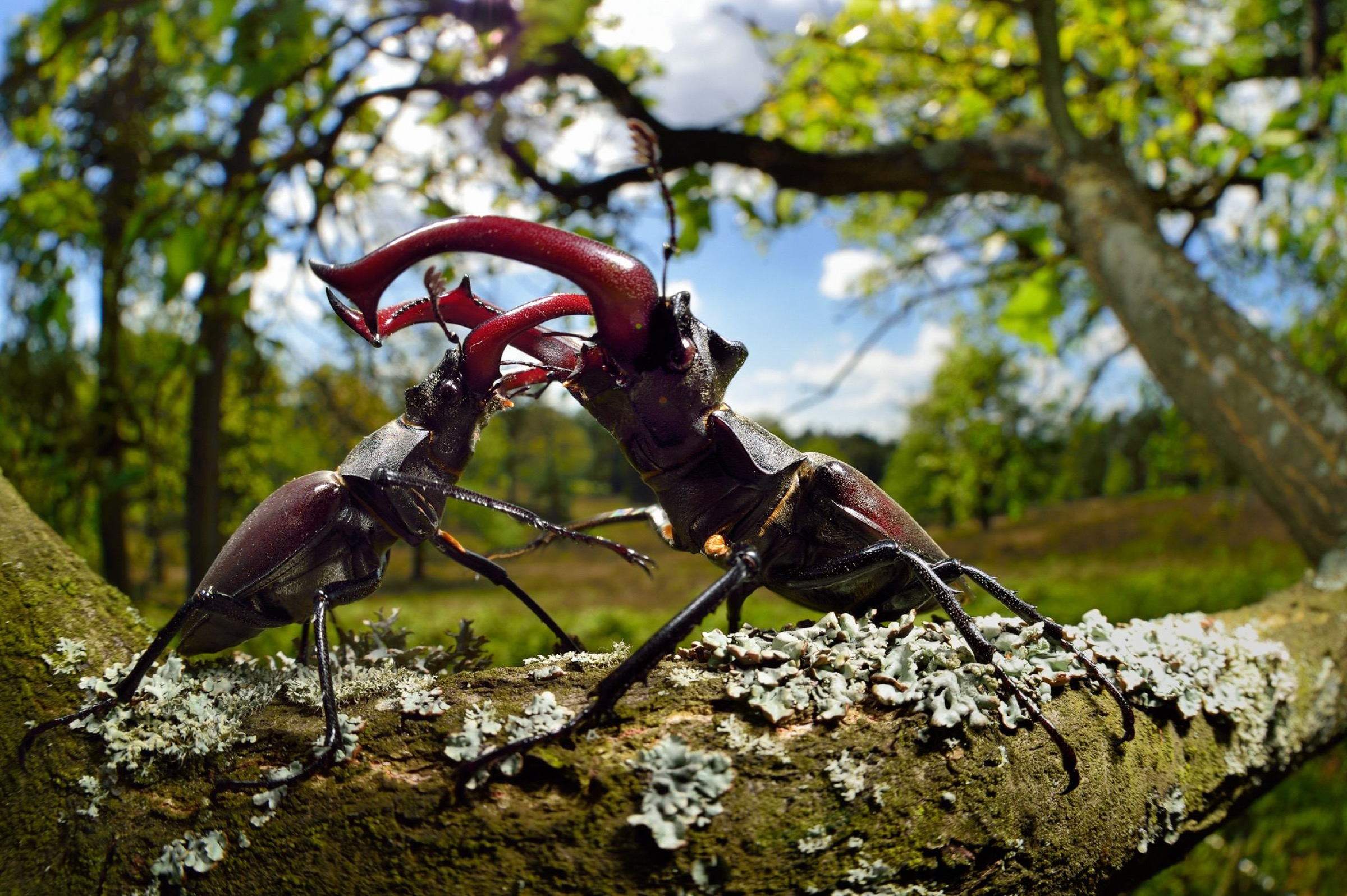 Stag beetle (Lucanus cervus) males fighting on oak tree branch, Elbe, Germany, June.