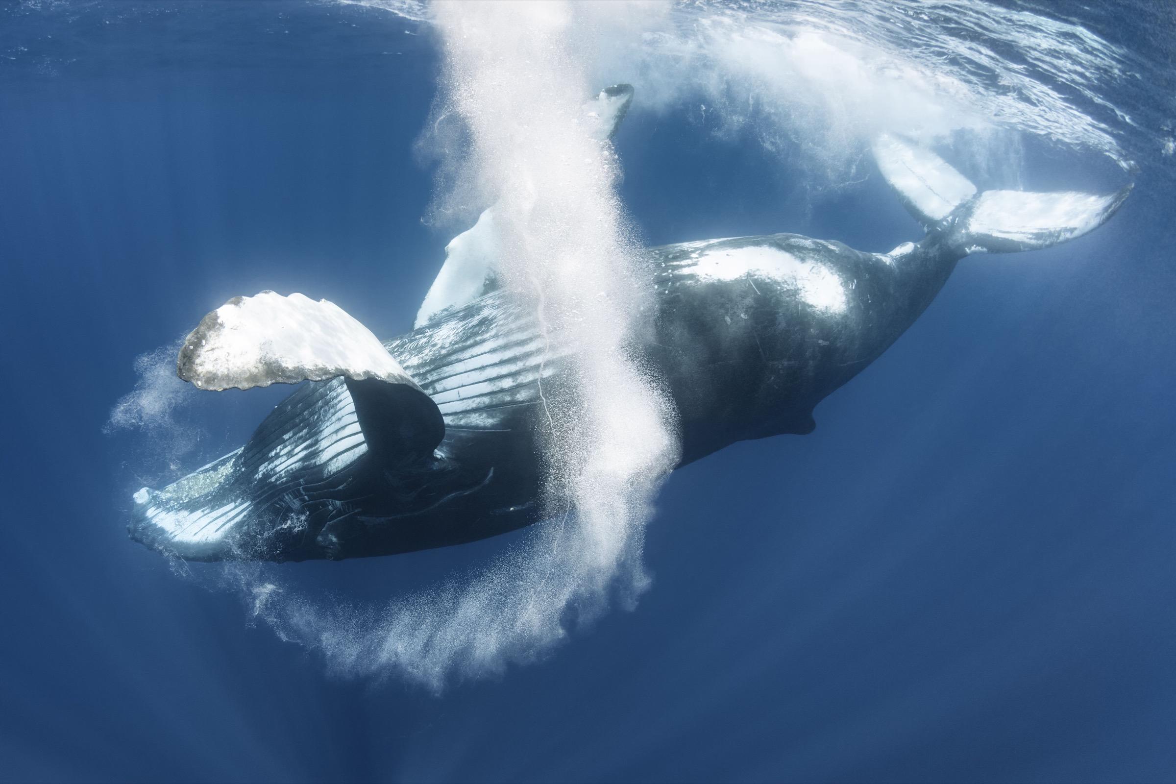 humpback whale (Megaptera novaeangliae) observed off the coast of Sri Lanka