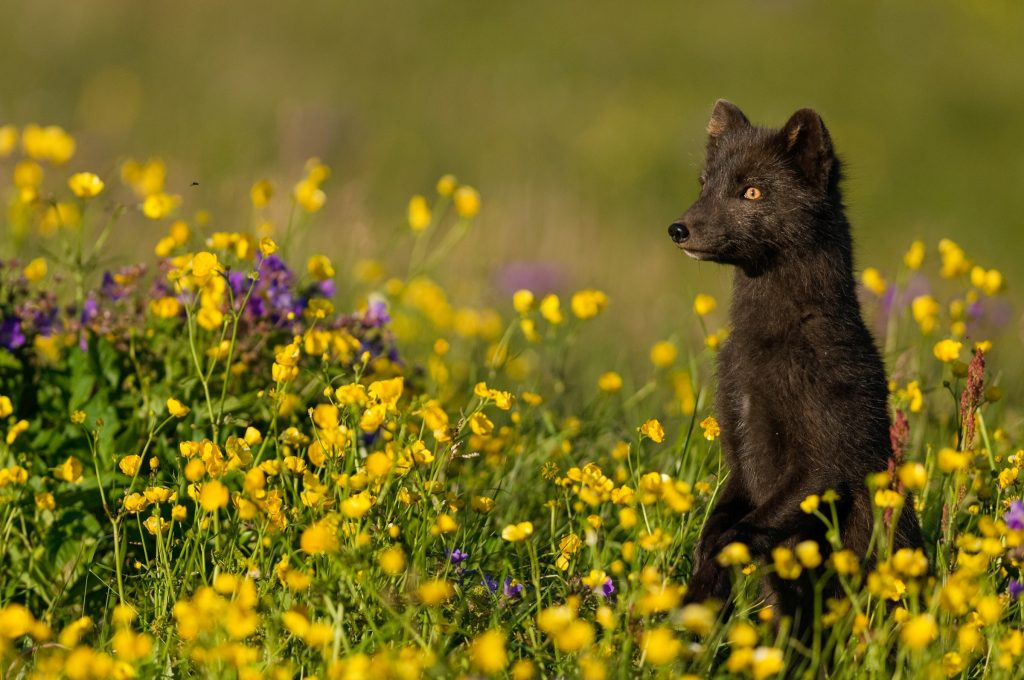 An arctic fox (Alopex lagopus) stands on its hind legs in a wildflower meadow in Hornstrandir, Iceland. Photograph by Orsolya Haarberg