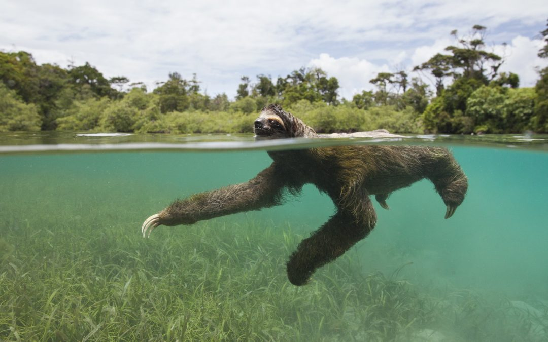 Keeping Pygmy Sloths Afloat