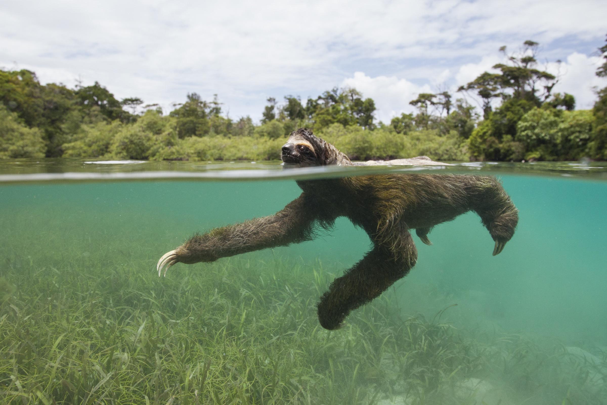 A pygmy three-toed sloth paddles off Panama's Isla Escudo de Veraguas.