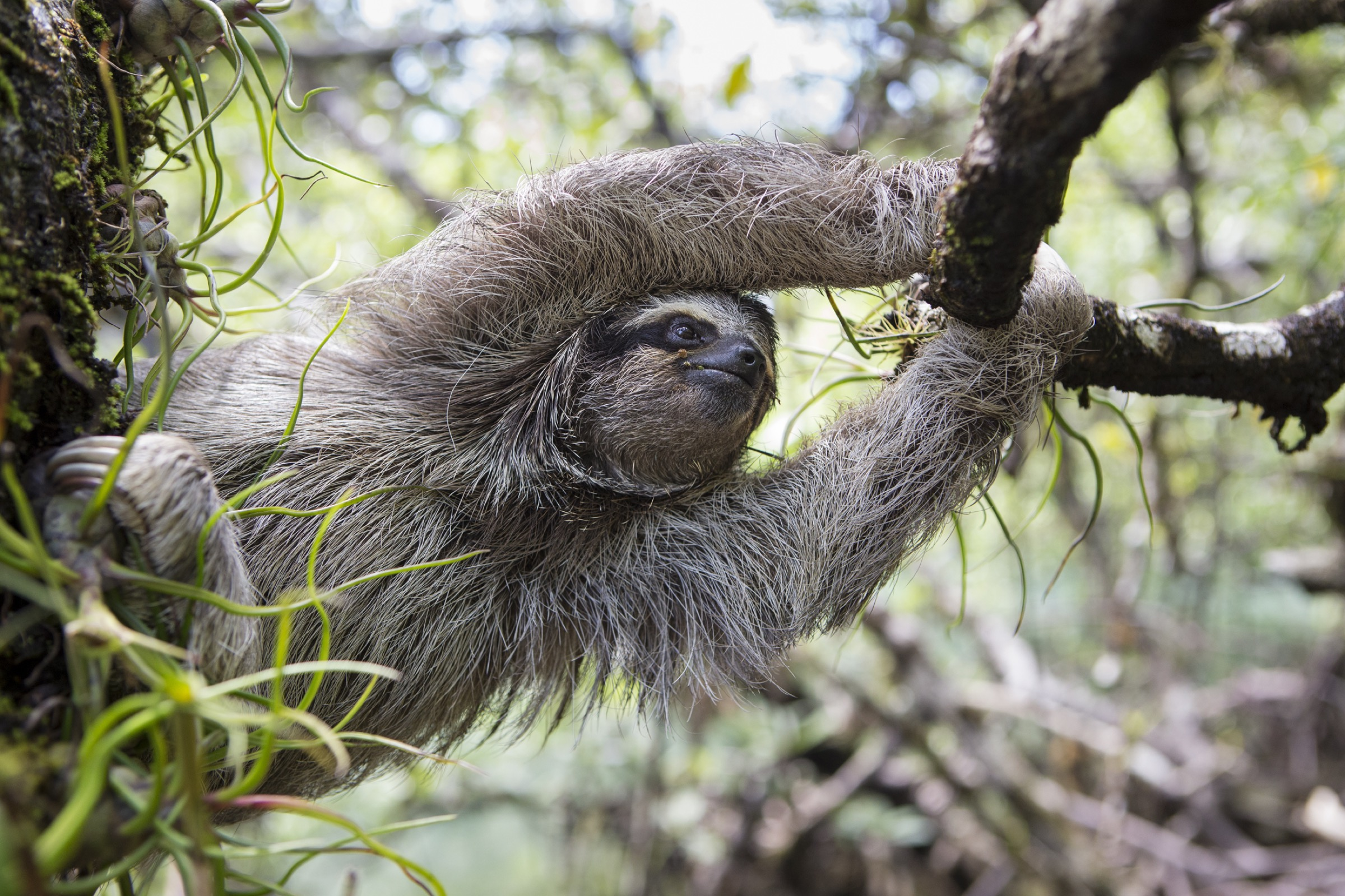 Pygmy three-toed sloths are particularly vulnerable on the ground, so they prefer to travel by water or through the trees.