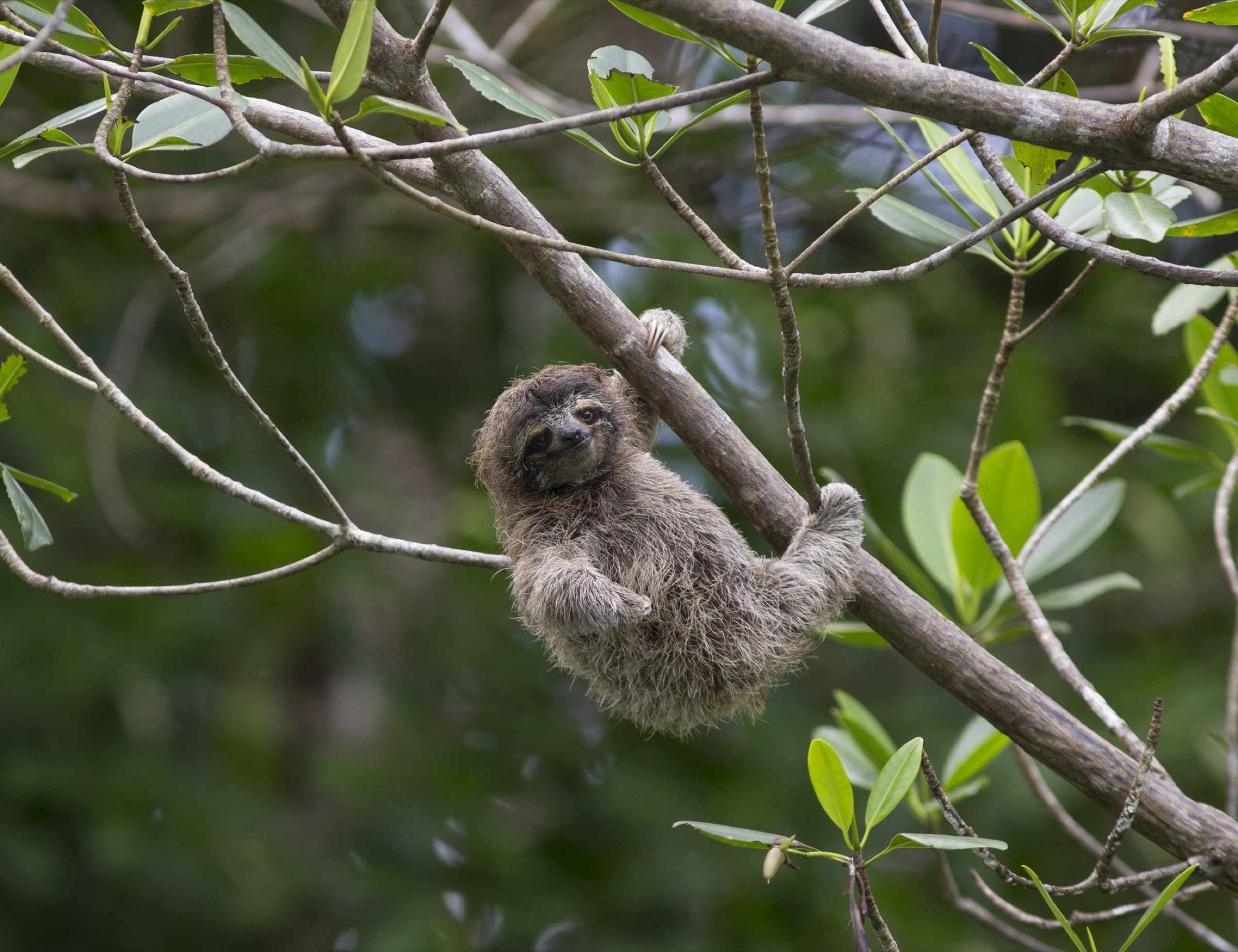 At just four months old, this pygmy sloth can already hang from a tree branch by itself.
