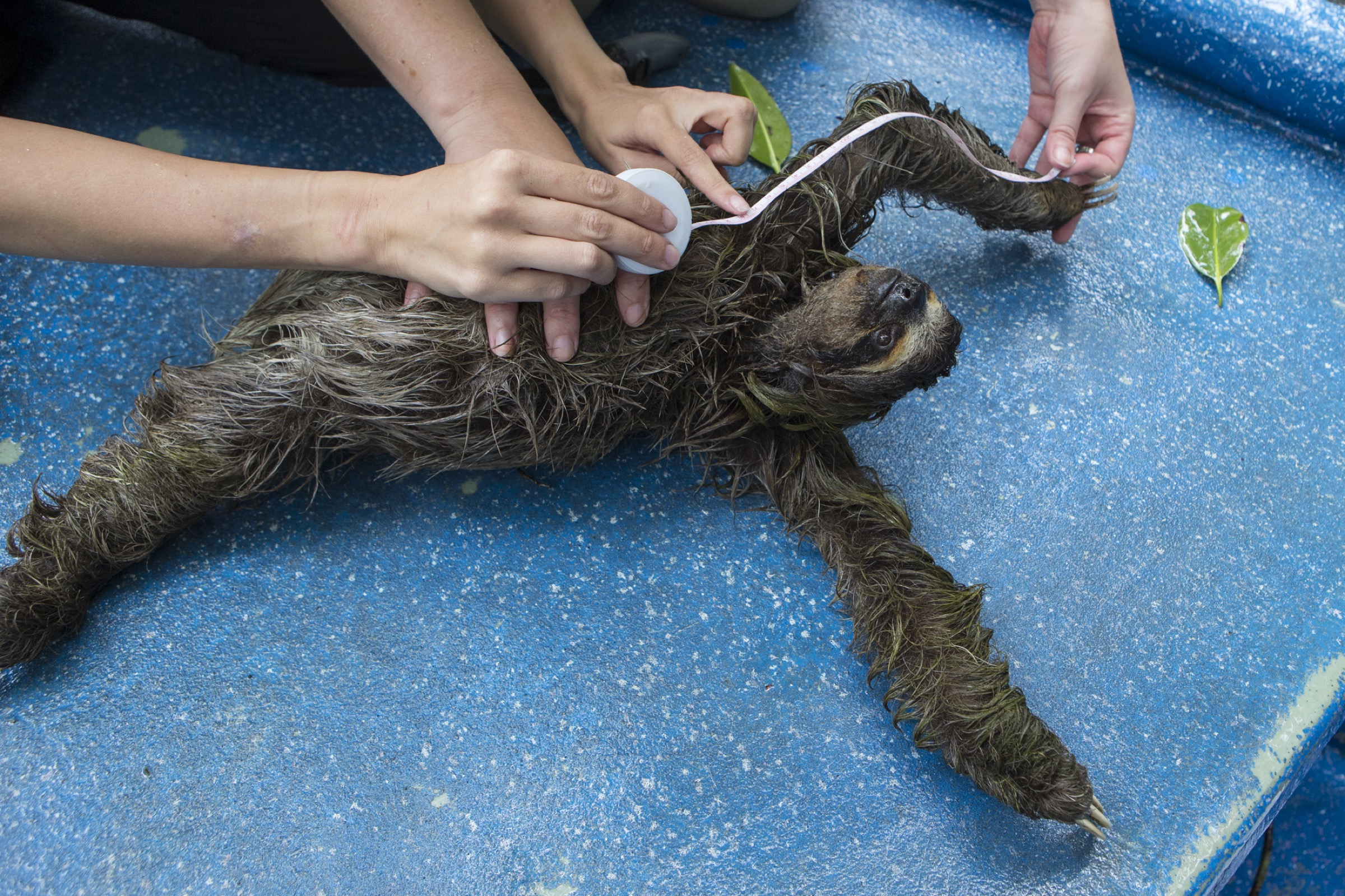 Zoologist Rebecca Cliffe measures the arm length of a pygmy three-toed sloth. Cliffe and her team will compare measurements of sloths here to those of their mainland cousins.
