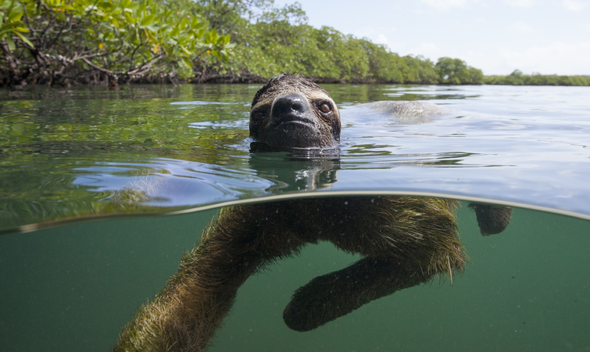 Pygmy three-toed sloths move faster in water than on the ground, which makes swimming the preferred mode of travel.