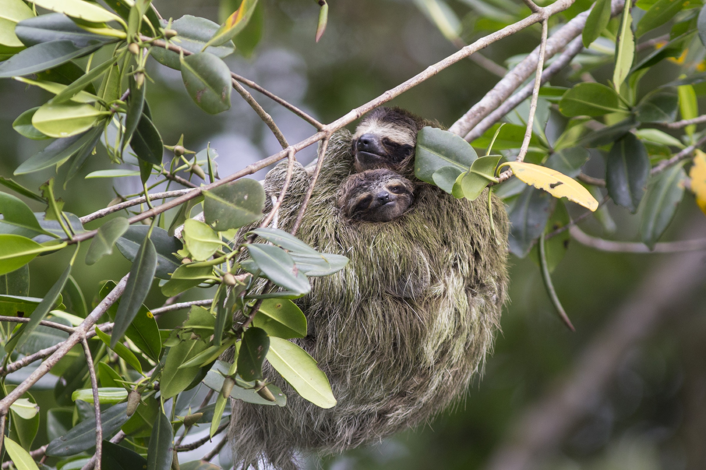 A mother pygmy three-toed sloth cradles her four-month-old baby.