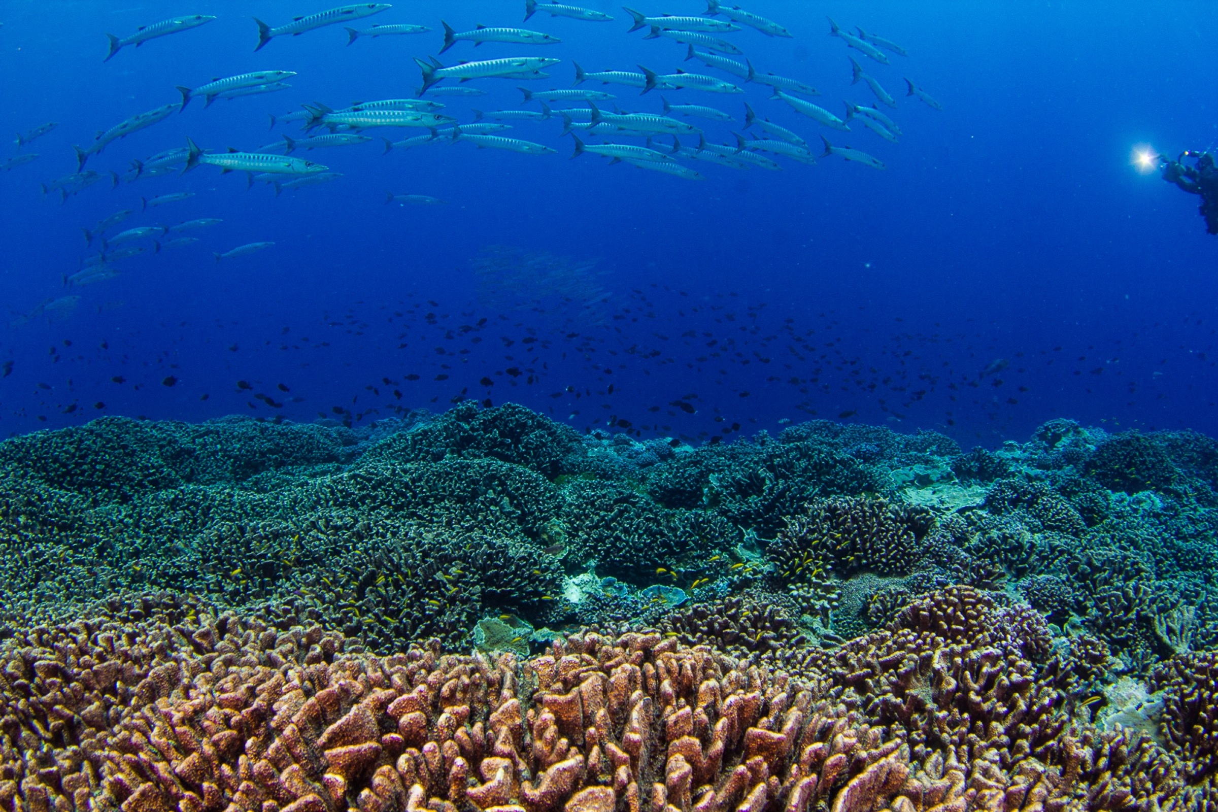 A school of blackfin baracuda (Sphyraena qenie) swim in to investigate a diver along a current-swept reef in the central Pacific. Photograph by Brian Zgliczynski/100 Island Challenge