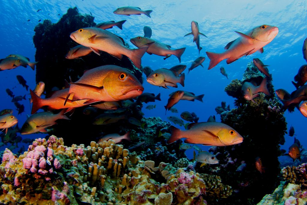 A school of twinspot snapper (Lutjanus bohar) use the complex structure of coral reefs for shelter. Photograph by Brian Zgliczynski/100 Island Challenge