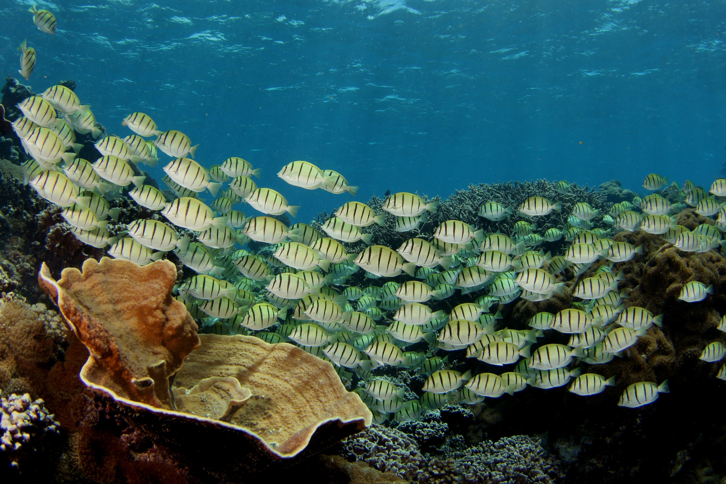 A school of convict surgeonfish (<em>Acanthurus triostegus</em>) forage along a shallow coral reef in the central Pacific. Photograph by Brian Zgliczynski/100 Island Challenge