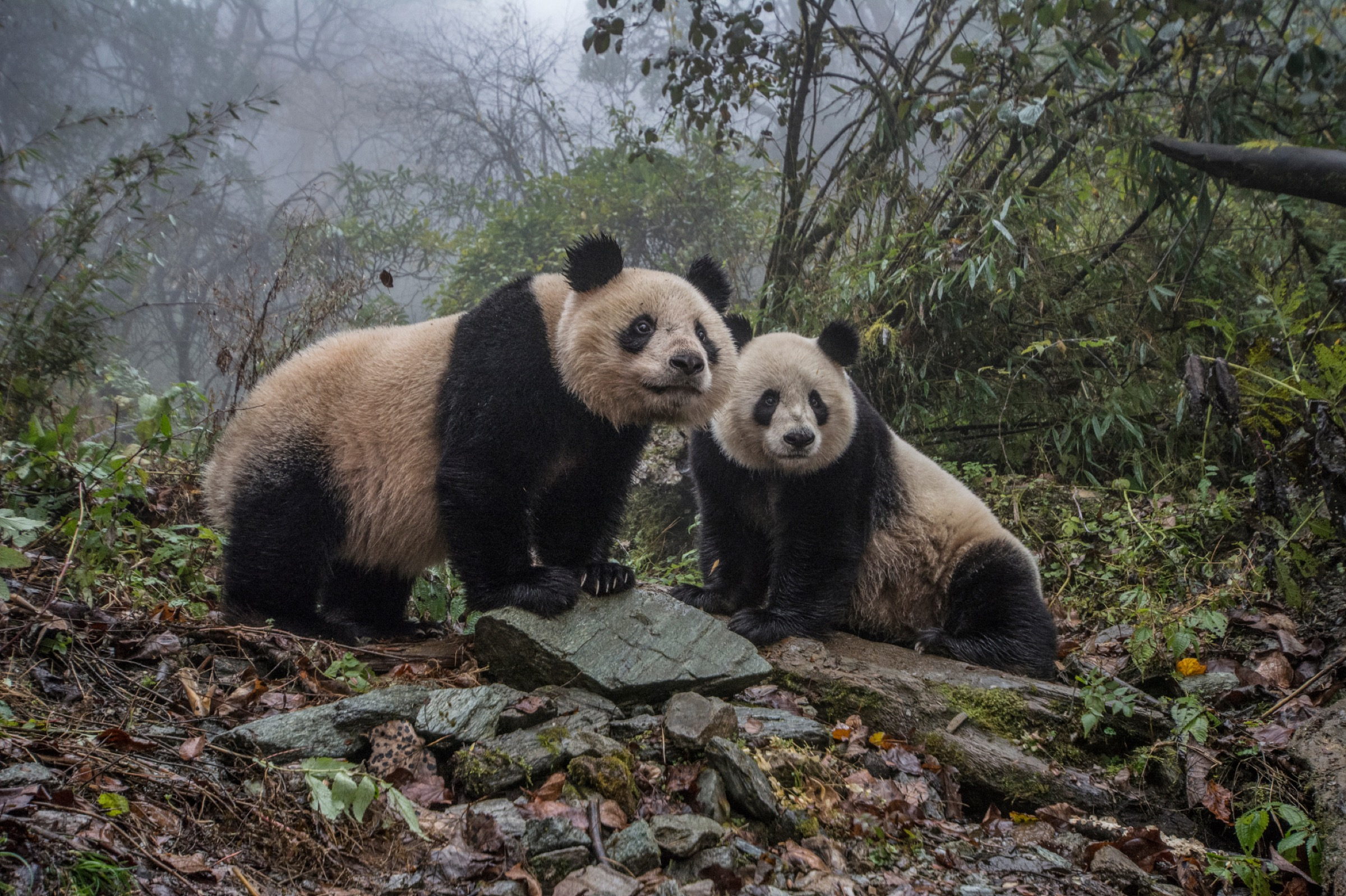 Two adult pandas monitor activities around theirenclosure at the Wolong Nature Reserve Panda in Sichuan Province. Photograph by Ami Vitale