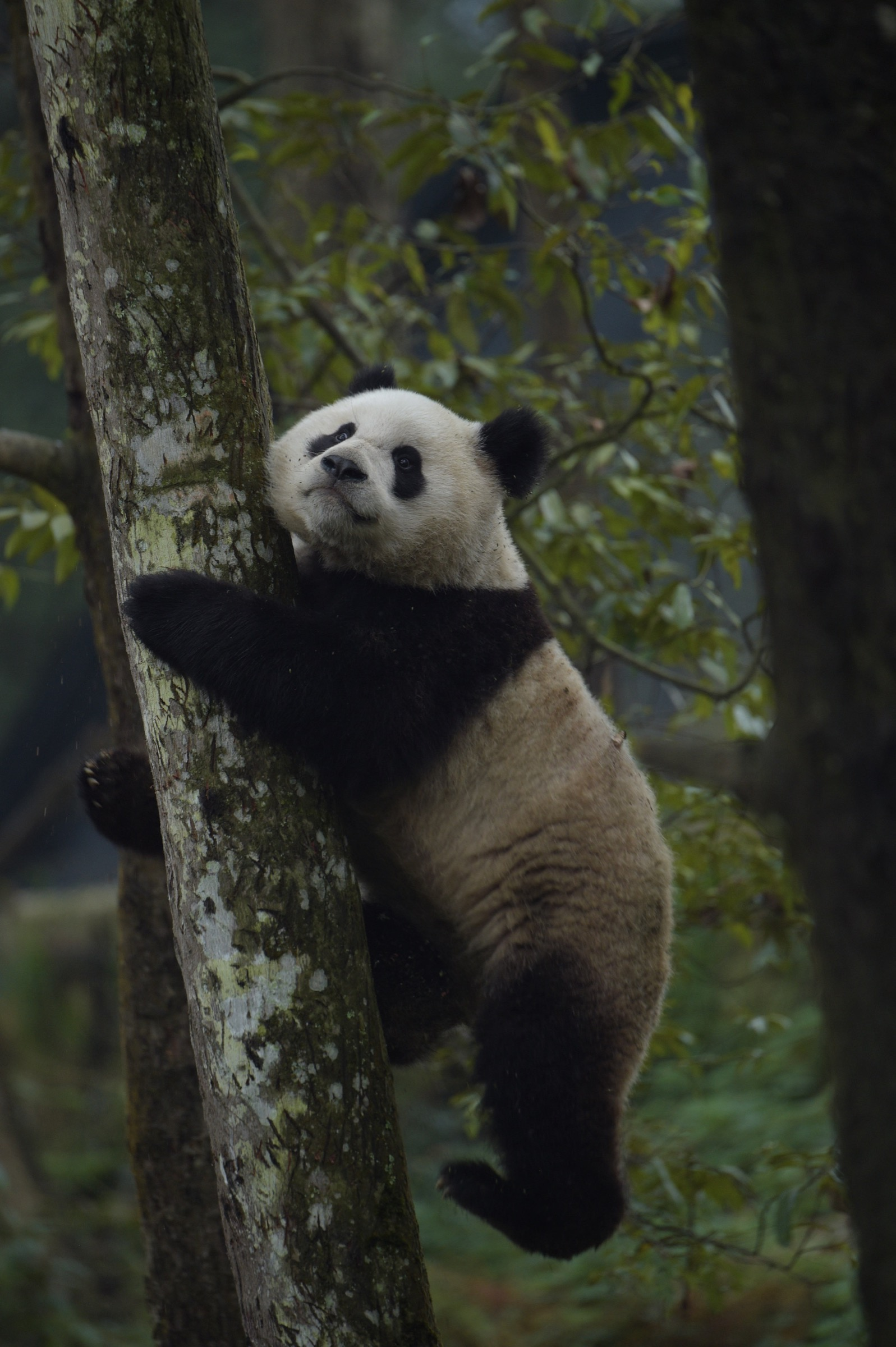 A two-year-old male panda climbs atree in an enclosure at the Wolong Nature Reserve in Sichuan province. After decades of habitat degradation and overhunting across much of the species' range, there are now fewer than 2,000 giant pandas left in the wild. Photograph by Ami Vitale