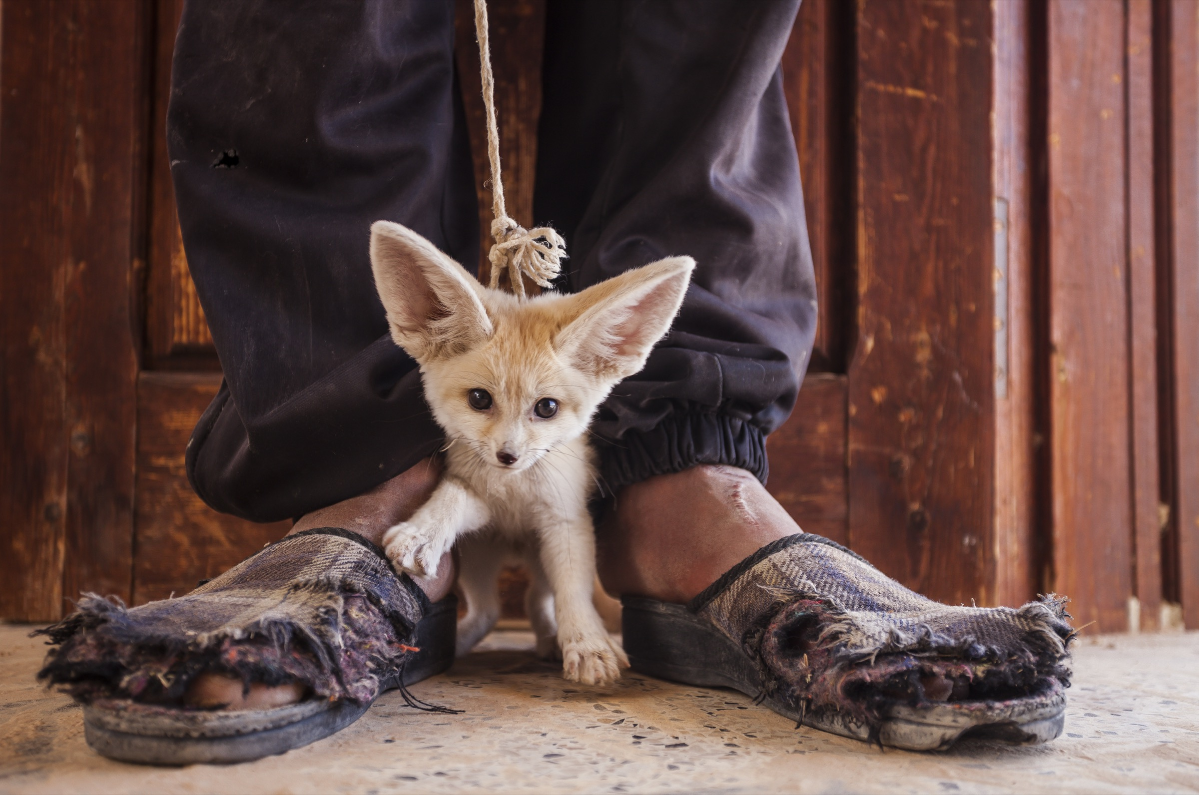 This young fennec fox pup was captured in the wild and offered to photographer Bruno D'Amicis for sale in Tunisia.