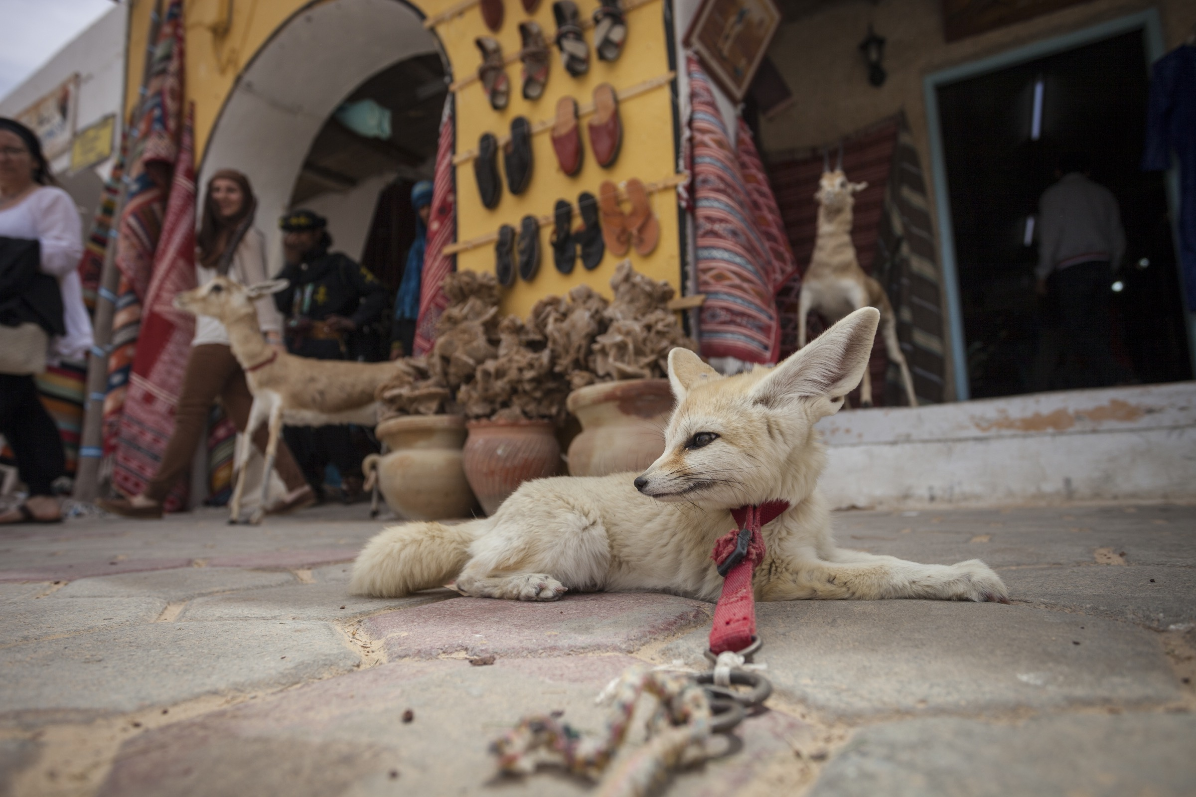 A captive fennec fox rests in front of a tourist shop in Douz, Tunisia. Foxes used as tourist attractions often exhibit signs of stress and aggression and die prematurely.