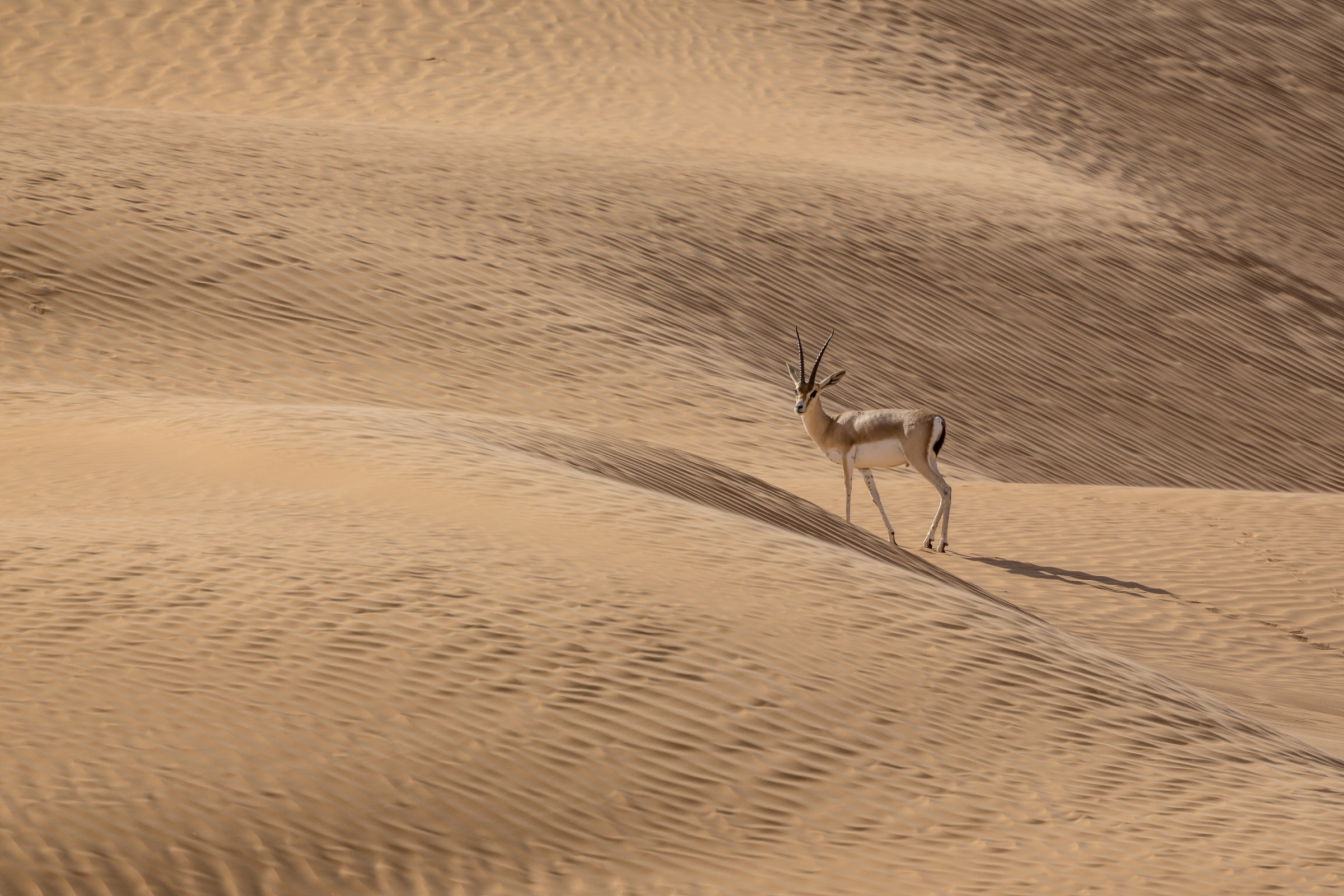 One of the few remaining slender-horned gazelles (<em>Gazella leptoceros loderi</em>) in the Tunisian Sahara. In recent decades, poachers have hunted the species nearly to extinction in the wild, killing the adults and selling any offspring to wealthy landowners for their private menageries.