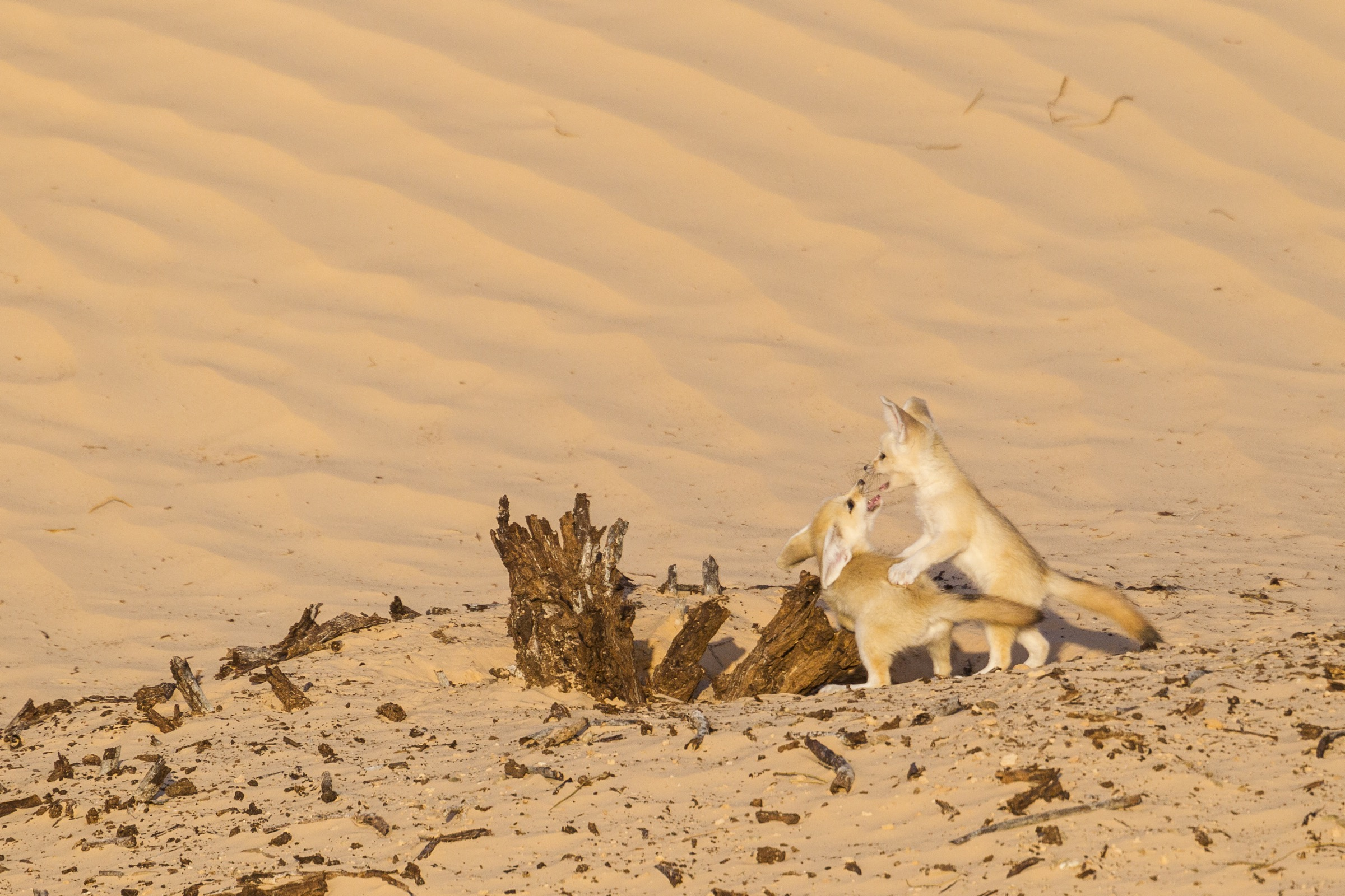 A pair of fennec fox pups play near the entrance to their den. Play behavior is common in fennec foxes, even among adults.